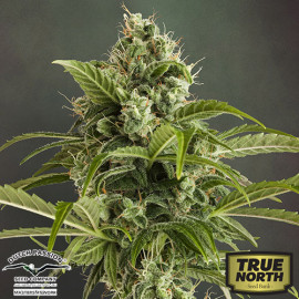 AutoEuforia Feminized Seeds (Dutch Passion)