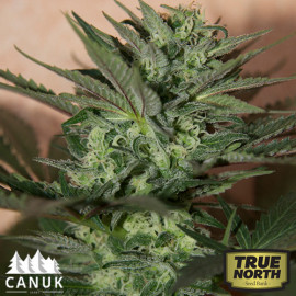Great White Shark Auto Feminized Seeds (Canuk Seeds) *Until Supplies Last *