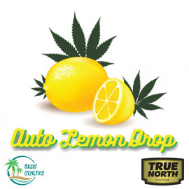 Auto Lemon Drop Feminized Seeds (Oasis Genetics)