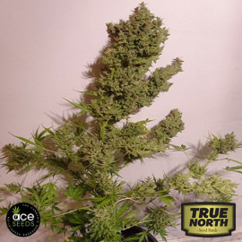 AUTO Malawi x Northern Lights FEMINIZED Seeds (Ace Seeds)