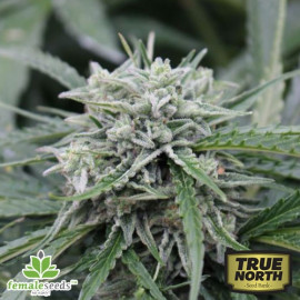 AUTO NL Feminized Seeds (Female Seeds)