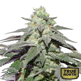 Auto Skywalker Haze Feminized Seeds (Dutch Passion)