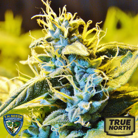 Automatic Northern Hog Feminized Seeds (THSeeds)