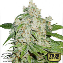 AutoBrooklyn Sunrise Feminized Seeds (Dutch Passion)