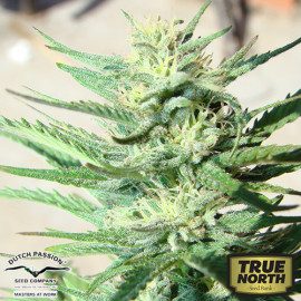 AutoDurban Poison Feminized Seeds (Dutch Passion)