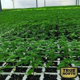 Autopilot 1.0 Autoflowering Feminized Seeds (Industrial Hemp Seeds)
