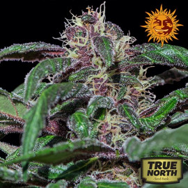 Ayahuasca Purple Feminized Seeds (Barney's Farm)