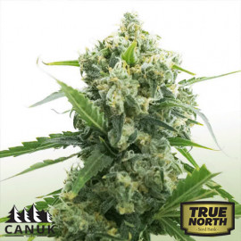 Banana Kush Auto Feminized Seeds (Canuk Seeds)