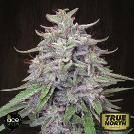 Bangi Haze Feminized Seeds (Ace Seeds)