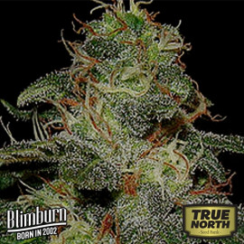 BC Diesel Feminized Seeds (BlimBurn Seeds)
