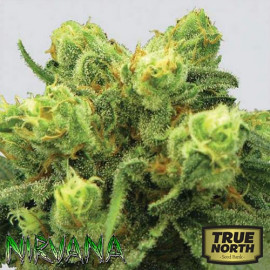 Pre-99 Big Bud FEMINIZED Seeds (Nirvana Seeds)
