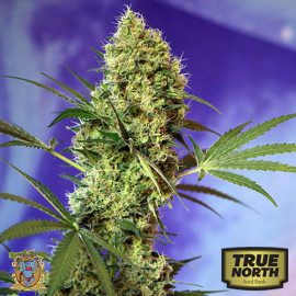 Big Devil Auto Feminized Seeds (Sweet Seeds)
