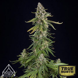 Black Amnesia Fast Feminized Seeds (Prism Seeds)