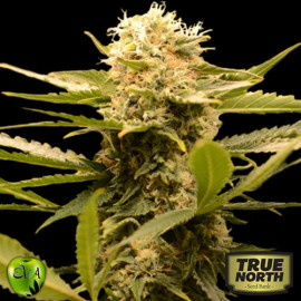 Black Dream FEMINIZED Seeds (EVA Seeds)