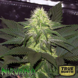 Blackberry FEMINIZED Seeds (Nirvana Seeds)