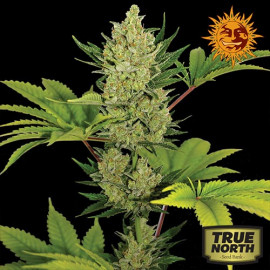 Blueberry Cheese Auto Feminized Seeds (Barney's Farm)