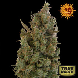 Blueberry Cheese Feminized Seeds (Barney's Farm)