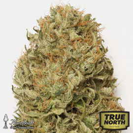 Blue Dream Auto Feminized Seeds (Humboldt Seed Org)