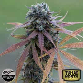 Blue Kush Autoflowering Feminized Seeds (Dinafem)