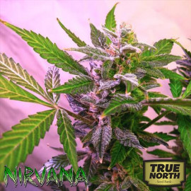 Blue Mystic FEMINIZED Seeds (Nirvana Seeds)