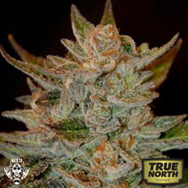 Blue OG FEMINIZED Seeds (G13 Labs)