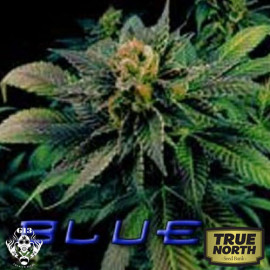 Blue Venom FEMINIZED Seeds (G13 Labs)