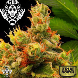 Blueberry Gum FEMINIZED Seeds (G13 Labs)