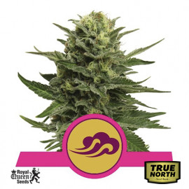 Blue Mystic Feminized Seeds (Royal Queen Seeds)