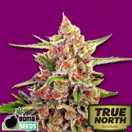 Cherry Bomb REGULAR Seeds (Bomb Seeds)
