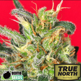 Cluster Bomb Feminized Seeds (Bomb Seeds)