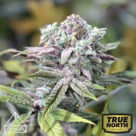 Bruce Banner x Chocolope Feminized Seeds (Prism Seeds)