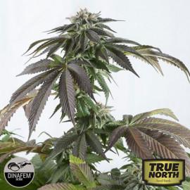 Bubba Kush CBD Feminized Seeds (Dinafem)