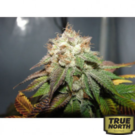 Pre98 Bubba BX2 FEMINIZED Seeds (Cali Connection)