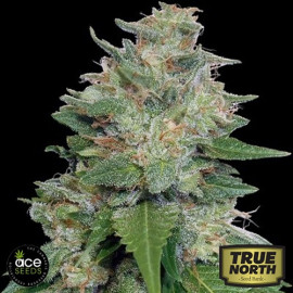 Bubba Kush x Kali China FEMINIZED Seeds (Ace Seeds)