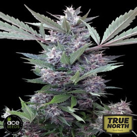 Bubba Kush x PCK FEMINIZED Seeds (Ace Seeds)