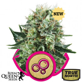 Bubble Kush Feminized Seeds (Royal Queen Seeds)