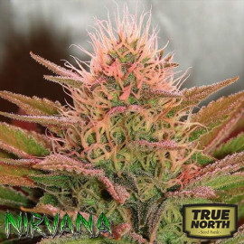 Bubblelicious FEMINIZED Seeds (Nirvana Seeds)