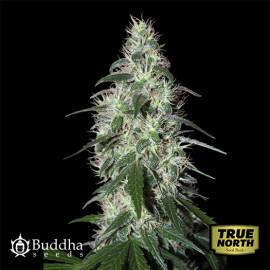 Pulsar Feminized Seeds (Buddha Seeds)