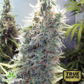 Cinderella 99 Feminized Seeds (Female Seeds)