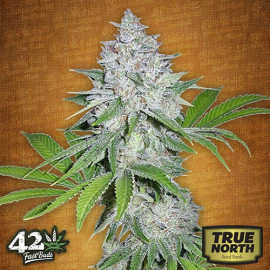 Californian Snow Auto Feminized Seeds (FastBuds)