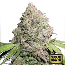 CBD Charlotte's Angel Feminized Seeds (Dutch Passion)