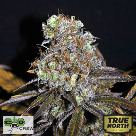 CBD Critical Mass FEMINIZED Seeds (CBD Crew)