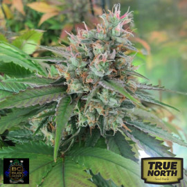 CBD God REGULAR Seeds (BC Bud Depot)