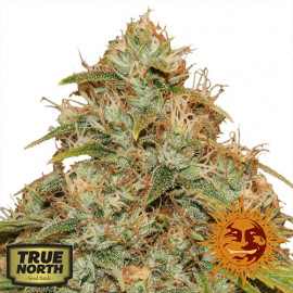 CBD Lemon Potion Auto Feminized Seeds (Barney's Farm)