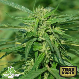 CBD Terra Italia Feminized Seeds (Female Seeds)