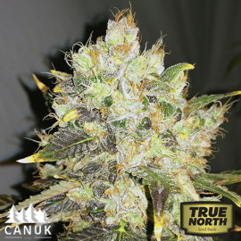 CBDurban Feminized Seeds (Canuk Seeds)