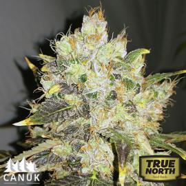 CBDurban Feminized Seeds (Canuk Seeds)