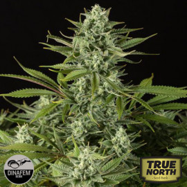 Cheese CBD Feminized Seeds (Dinafem)