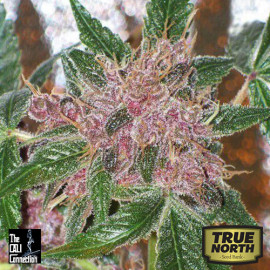 Cherries Jubilee FEMINIZED Seeds (Cali Connection)