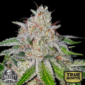 Cherry 18 Feminized Seeds (Crockett Family Farms)
